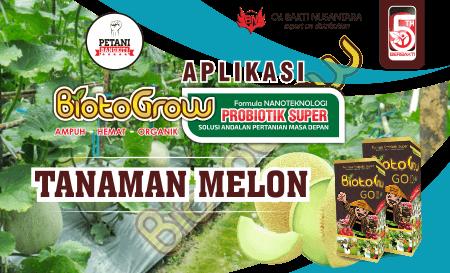 Panduan Pemupukan Tanaman Melon Aplikasi Biotogrow