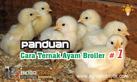 panduan cara ternak ayam broiler #1