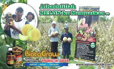 pupuk cair tanaman melon hasil puas biotogrow