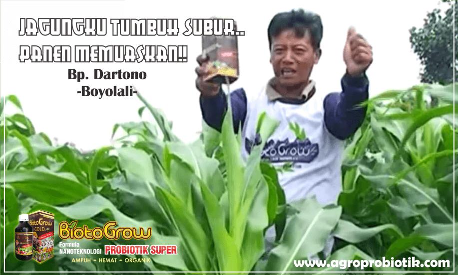 pupuk organik tanaman jagung