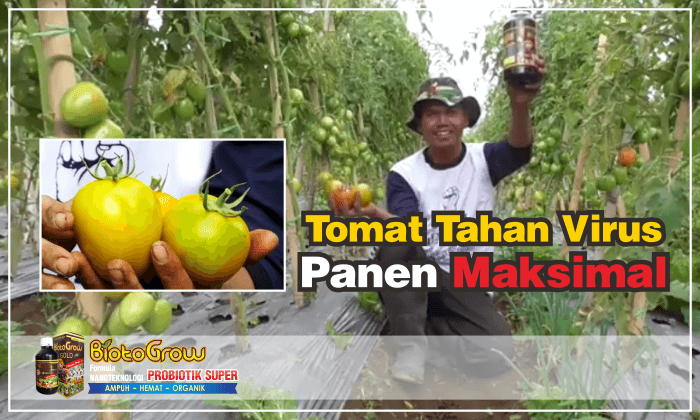 pupuk organik cair biotogrow untuk Tomat