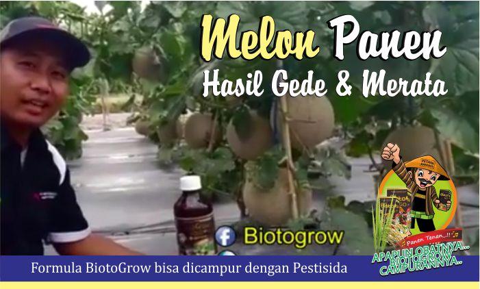 pupuk cair hayati biotogrow untuk melon
