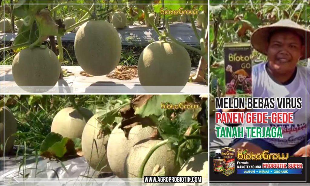 pupuk probiotik melon bebas virus panen melimpah tanah terjaga