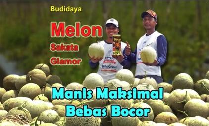 budidaya melon bebas bocor 1