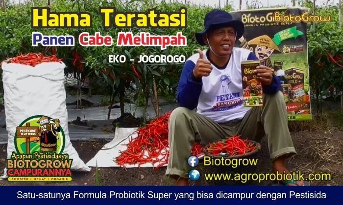 budidaya cabai petani Biotogrow 1
