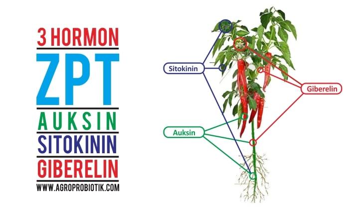3 hormon zat pengatur tumbuh