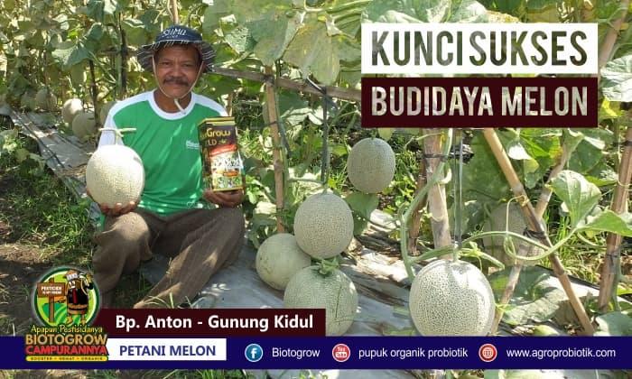 pupuk organik untuk tanaman melon