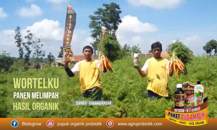 pupuk tanaman wortel panen melimpah hasil organik