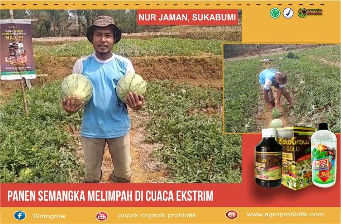 Saya Petani Semangka mencoba salah satu produk BiotoGrow yaitu M-21 dengan penggunaan disimpan didalam tanah 1 minggu sebelum tanam.