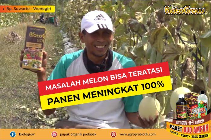 MASALAH MELON TERATASI PANEN MENINGKAT 100%